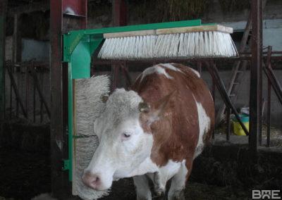 Brossage de vaches